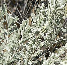 Artemisia tridentata httpsuploadwikimediaorgwikipediacommonsthu