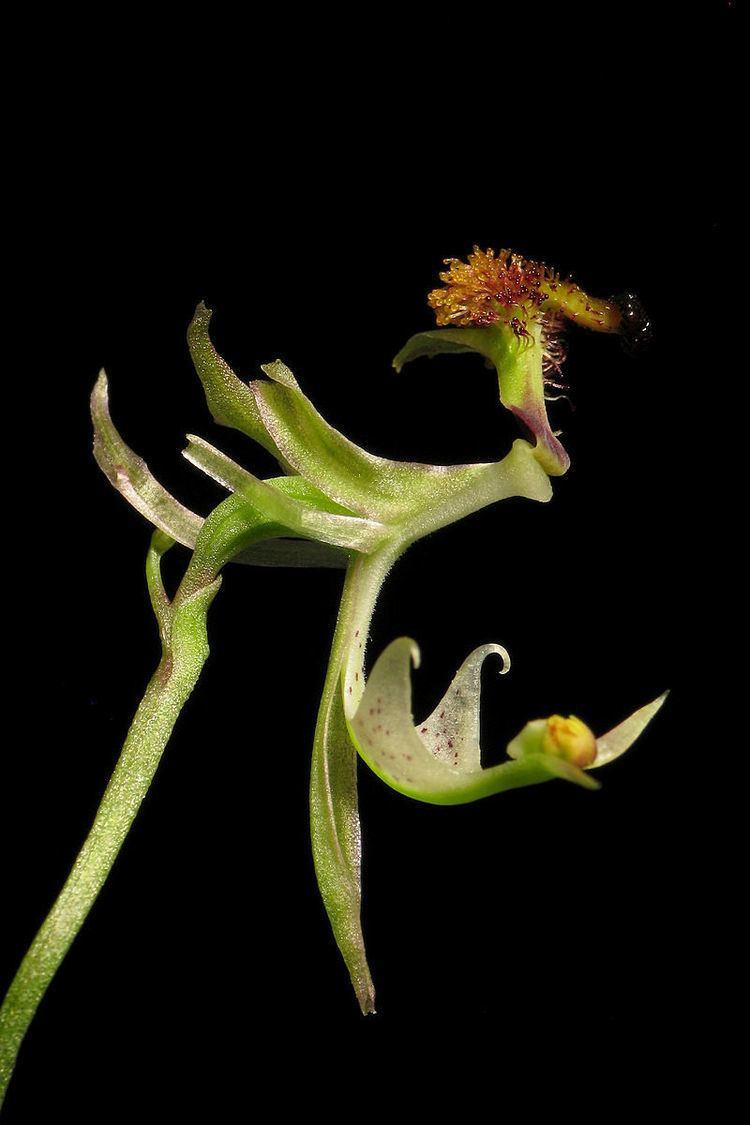 Arthrochilus latipes