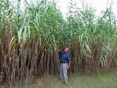 Arundo Is giant reed Arundo a 39miracle plant39 or the next kudzu masslivecom