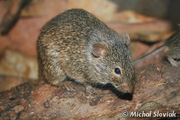 Arvicanthis Image Arvicanthis niloticus African Grass Rat BioLibcz