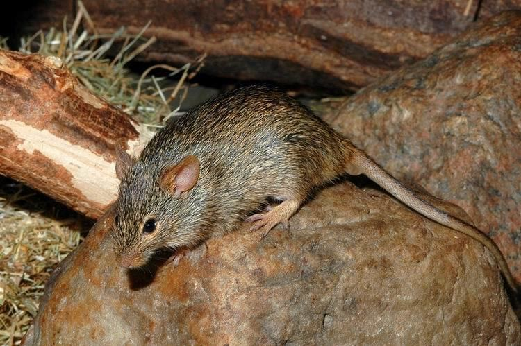Arvicanthis Image Arvicanthis neumanni Neumann39s Grass Rat BioLibcz