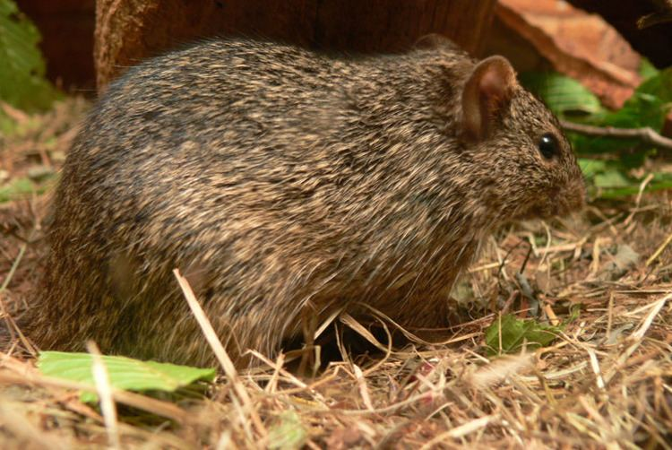 Arvicanthis Arvicanthis niloticus African grass rat
