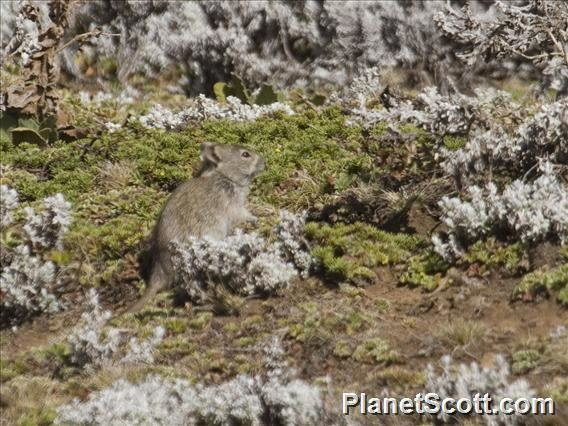 Arvicanthis Blick39s Grass Rat Arvicanthis blicki PlanetScottcom