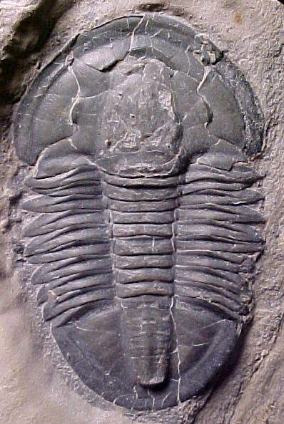 Asaphiscus Asaphiscus wheeleri