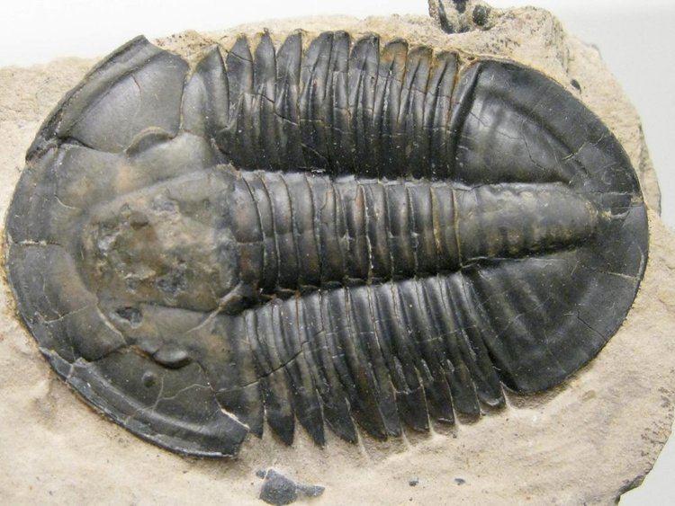 Asaphiscus Asaphiscus wheeleri Trilobite