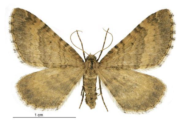 Asaphodes aegrota