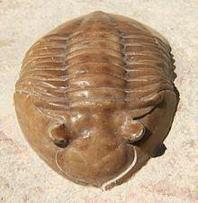 Asaphus Asaphus Wikipedia