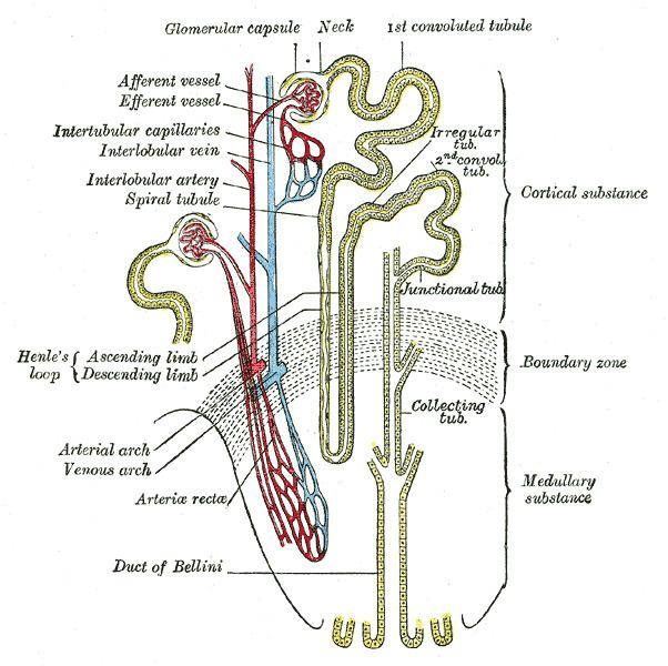 Ascending limb of loop of Henle