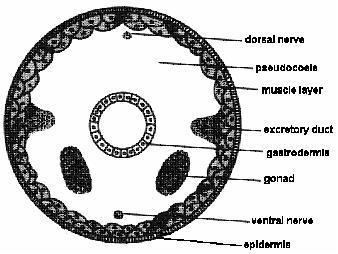 Aschelminth Phylum Aschelminthes Introduction to Medical Parasitology