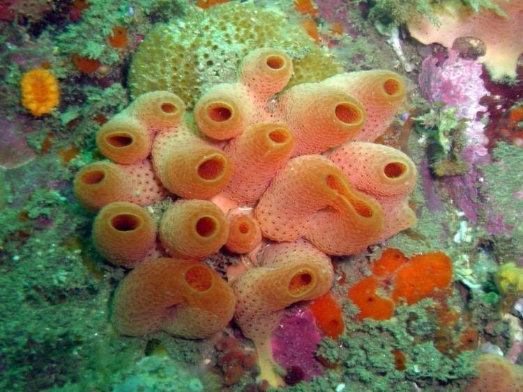 Ascidiacea ascidiaceasocial sea squirt menu