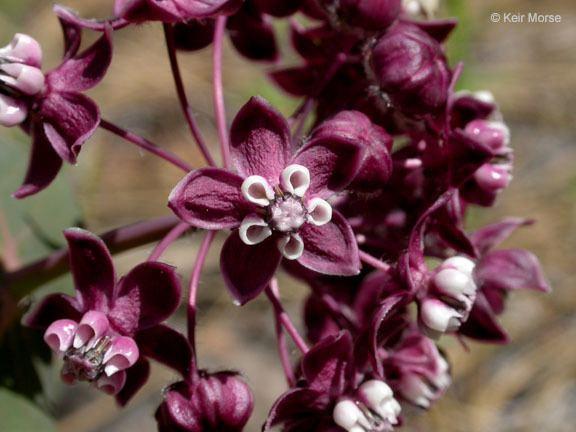Asclepias cordifolia CalPhotos Asclepias cordifolia Heartleaf Milkweed