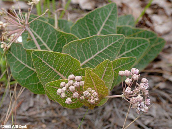 Asclepias humistrata Pinewoods Milkweed Asclepias humistrata