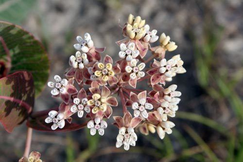 Asclepias humistrata Asclepias humistrata Bring Back The Monarchs