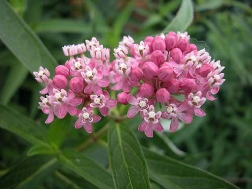 Asclepias incarnata Asclepias incarnata Bring Back The Monarchs