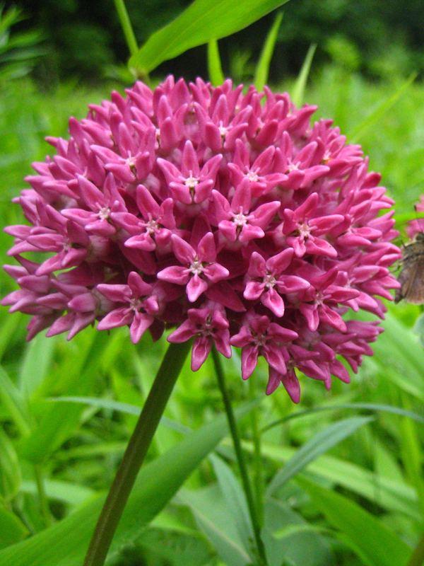 Asclepias purpurascens Asclepias purpurascens Purple Milkweed Butterfly Gardens To