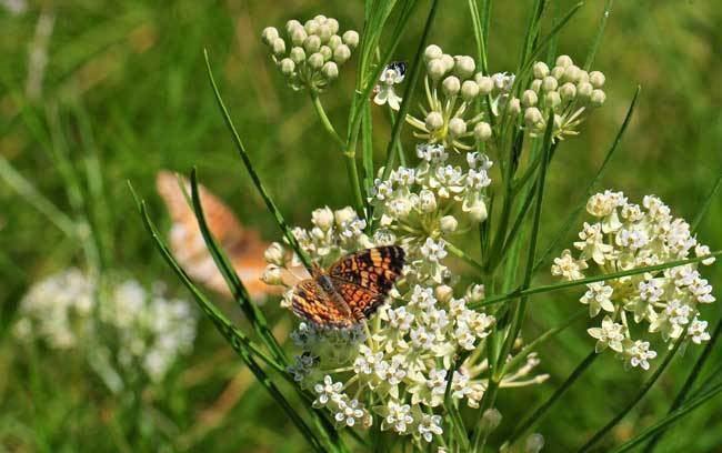 Asclepias subverticillata Asclepias subverticillata Horsetail Milkweed Southwest Desert Flora