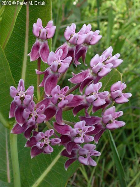 Asclepias sullivantii Asclepias sullivantii Sullivant39s Milkweed Minnesota Wildflowers