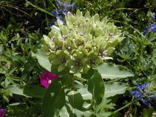 Asclepias viridis Asclepias viridis Green antelopehorn NPIN
