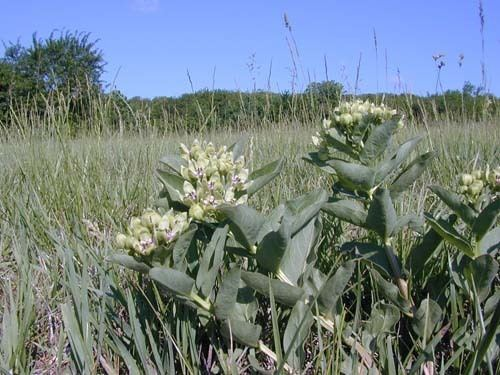 Asclepias viridis Asclepias viridis Bring Back The Monarchs