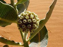 Asclepias welshii httpsuploadwikimediaorgwikipediacommonsthu