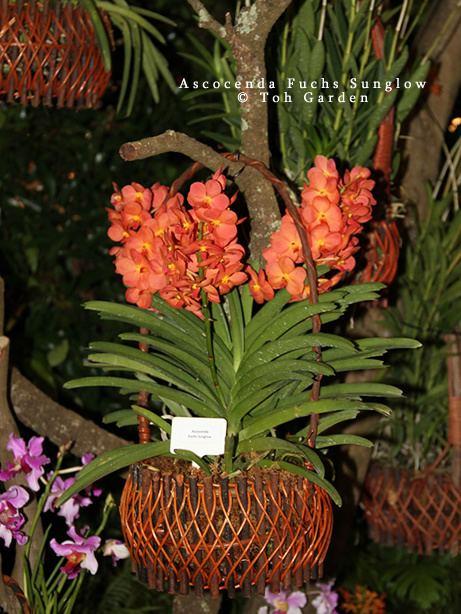 Ascocenda Ascocenda Fuchs Sunglow Toh Garden