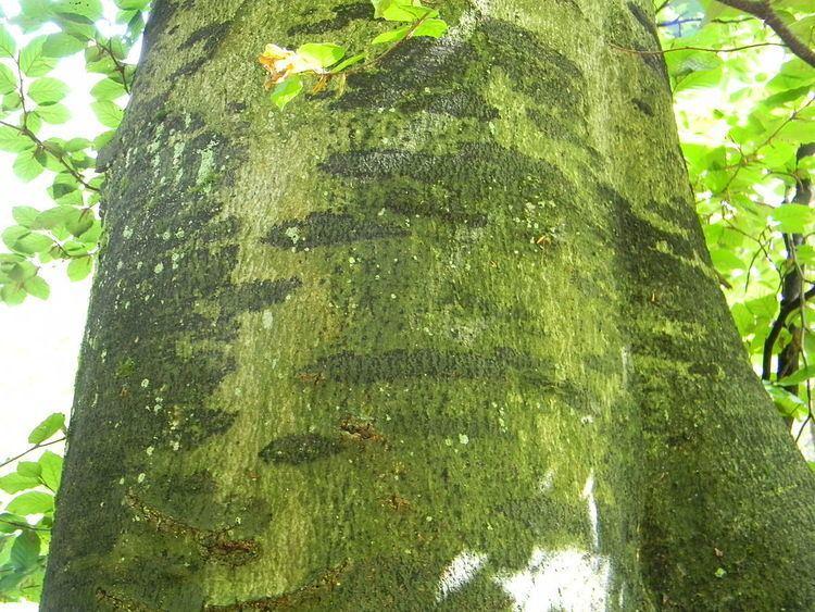 Ascodichaenaceae