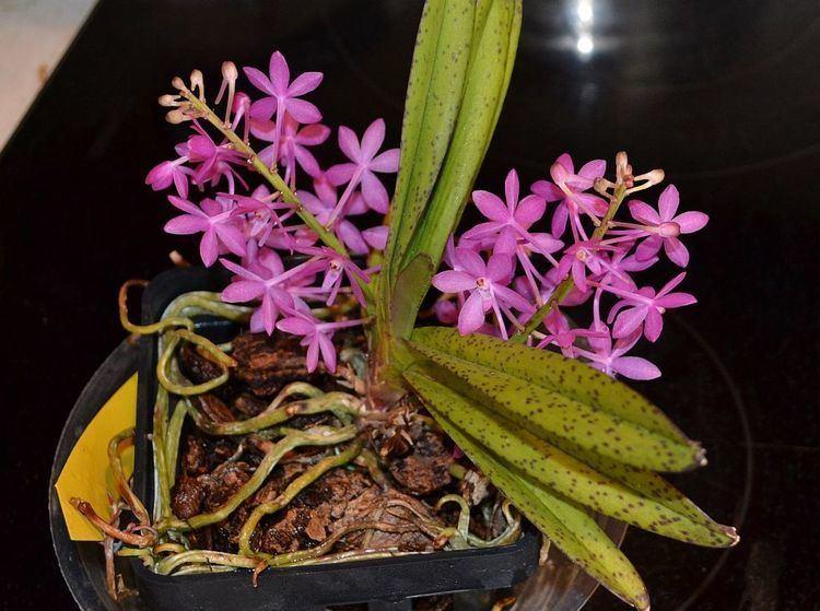 Ascofinetia Ascofinetia Cherry Blossom 39Carmela39other1 The Orchid Place