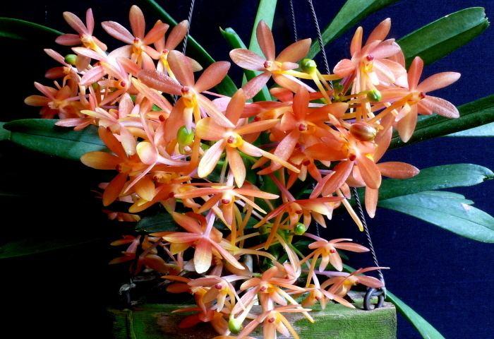 Ascofinetia Ascofinetia Cherry Blossom 39Apricot39