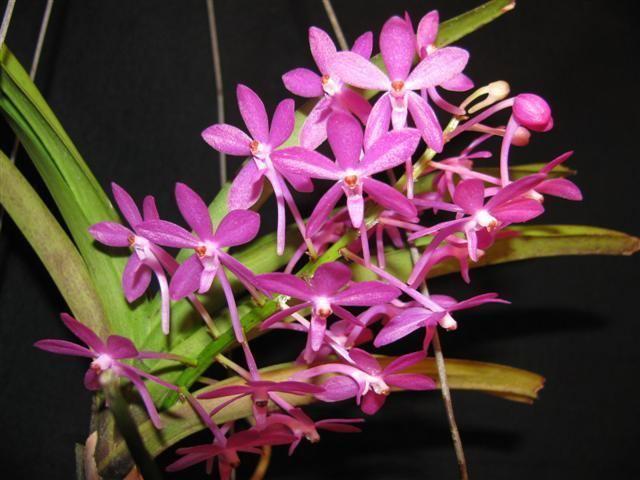 Ascofinetia Ascofinetia Petite Bouquet
