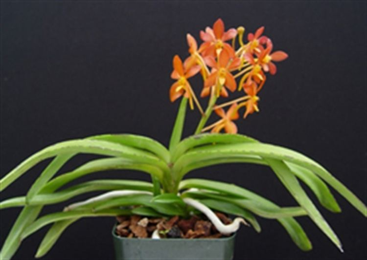 Ascofinetia Ascofinetia Lionstar presented by Orchids Limited