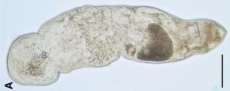 Ascopariidae