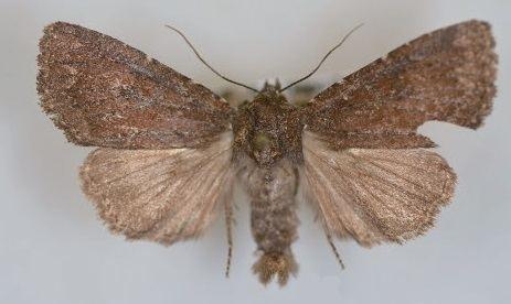 Aseptis ferruginea