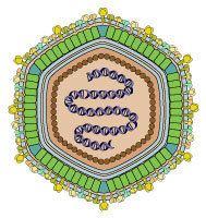 Asfarviridae httpsuploadwikimediaorgwikipediacommons66