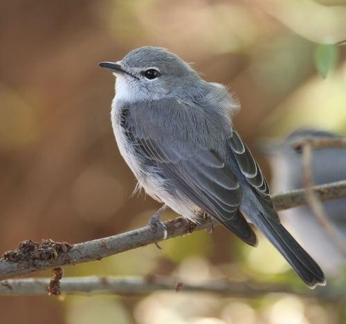 Ashy flycatcher Ashy Flycatcher Muscicapa caerulescens Buckham Birding