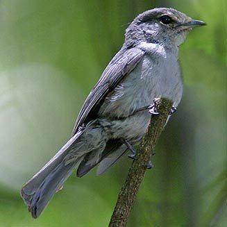 Ashy flycatcher Muscicapa caerulescens Ashy flycatcher Bluegrey flycatcher