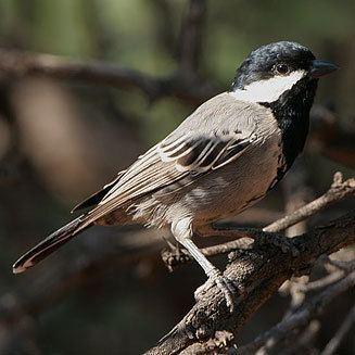 Ashy tit wwwbiodiversityexplorerorgbirdsparidaeimages
