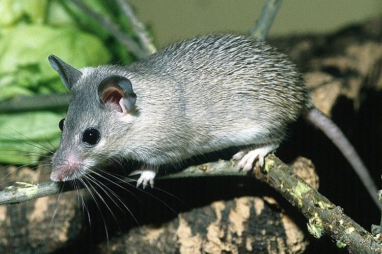Asia Minor spiny mouse Image Acomys cilicicus Asia Minor Spiny Mouse BioLibcz