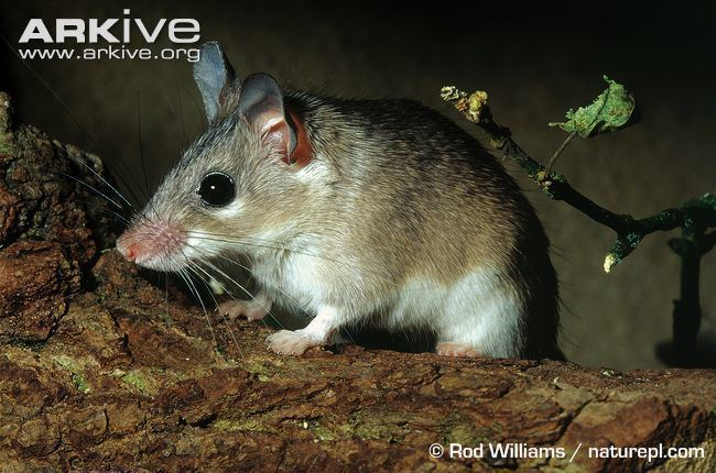 Asia Minor spiny mouse Asia Minor spiny mouse photo Acomys cilicicus G10174 ARKive