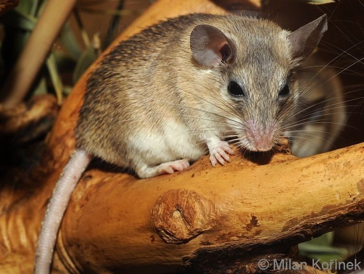 Asia Minor spiny mouse wwwbiolibczIMGGAL146187jpg