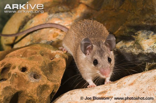 Asia Minor spiny mouse Asia Minor spiny mouse videos photos and facts Acomys cilicicus