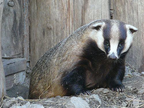 Asian badger zooinstitutescomanimals11013jpg