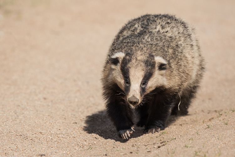 Asian badger Asian badger Meles leucurus It was a suprise to spot thi Flickr