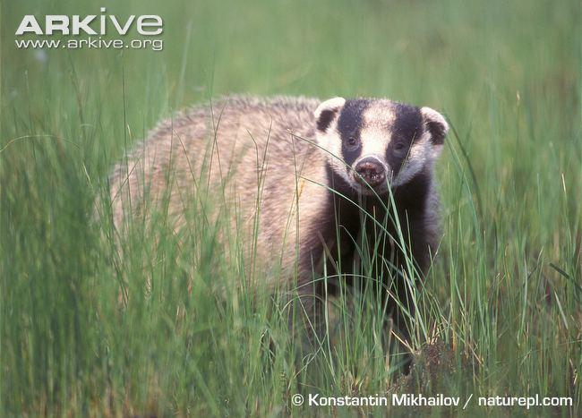 Asian badger Asian badger photo Meles leucurus G136035 ARKive