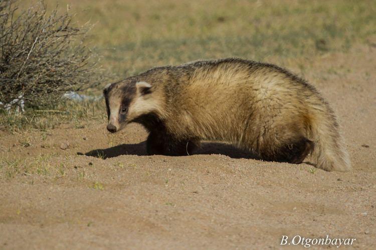 Asian badger Asian Badger Meles meles Otgonbayar Baatargal Flickr