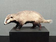 Asian badger Asian badger Wikipedia