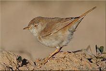 Asian desert warbler httpsuploadwikimediaorgwikipediacommonsthu