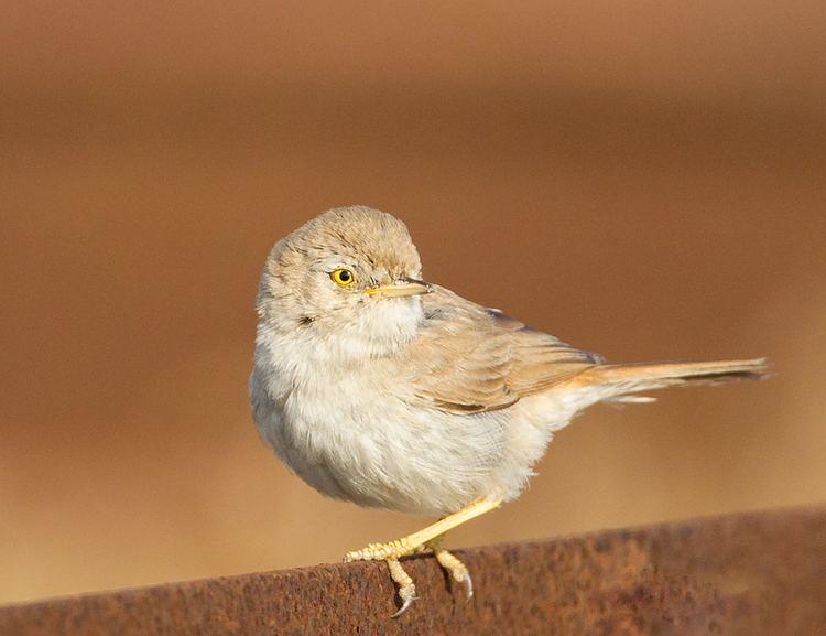Asian desert warbler A brief sighting of an Asian Desert Warbler Simons Birding Blog