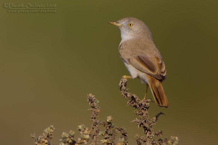 Asian desert warbler Asian Desert Warbler Sylvia nana photo Daniele Occhiato photos