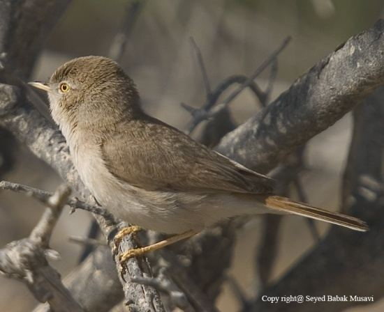 Asian desert warbler Asian Desert Warbler BirdForum Opus