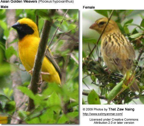 Asian golden weaver httpswwwbeautyofbirdscomsitesdefaultfiles